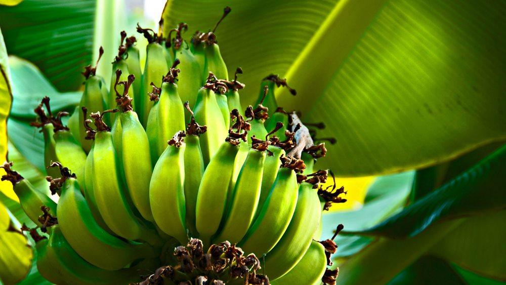 незрелый банан при гастрите